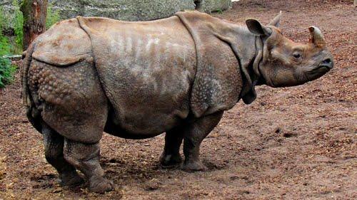 Le Népal et ses Rhinos Indiens