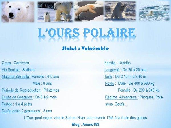 Zoom sur le géant des glaces : L'Ours Polaire