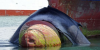 """Un cargot découvre une baleine """" décédé"""" coincé sur la proue..."""