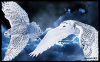 Montage : Chouette Harfang des Neiges