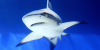 Les requins sur le banc des accusés à cause de nous?