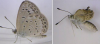 Les papillons mutants de Fukushima (je crois qu'il fallait s'y attendre...)
