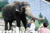 Un éléphant lanceur de pierre...sous enquête!