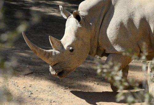 Un Braconnier de rhinocéros condamné à 77 ans de prison