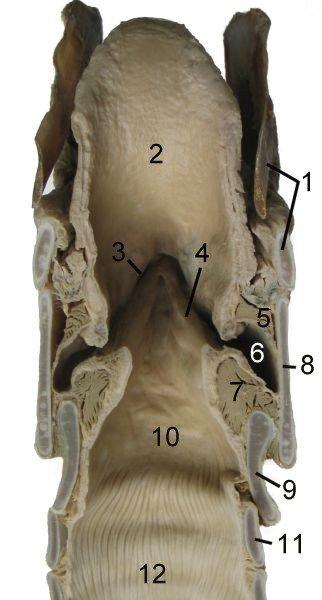 Le squelette du cheval