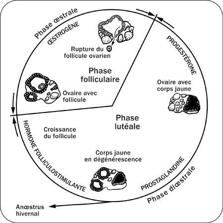 L'anatomie , la physiologie et  la reproduction de la jument
