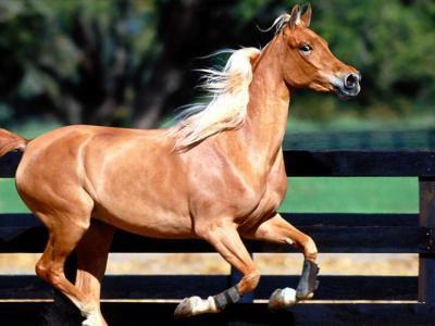 cheval arabe beige
