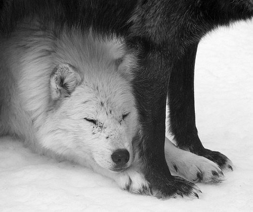 ~ Black Wolf  ~
