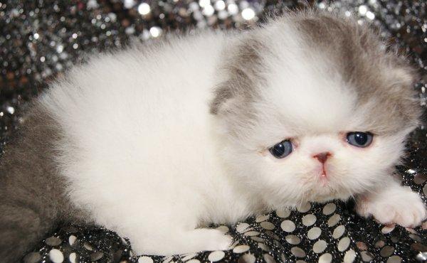 Magnifique bébés persan a réservé !!!!!!!!!!!