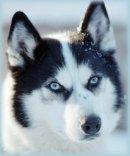 Photo de chien-des-neige-x3