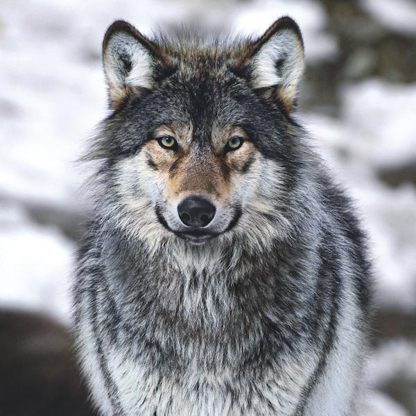 Le retour du loup, chronique de Frédéric Boyer