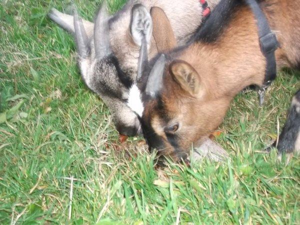 Mes chèvres