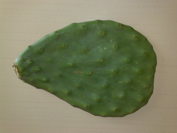 cactus et bouturage une passion
