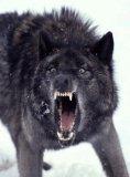 Photo de black--wolf4