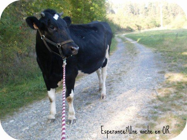 Espérance, une vache en Or !