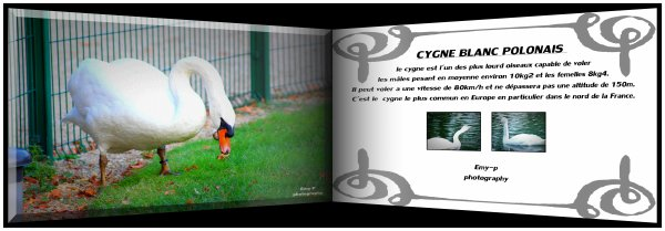 cygnes blanc polonais