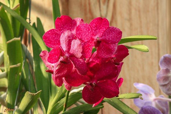 Orchidées  ( canon Kiss )