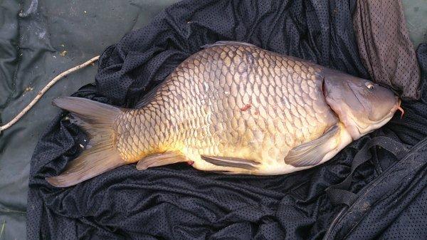 un poisson de 5kg500 pas tres beau