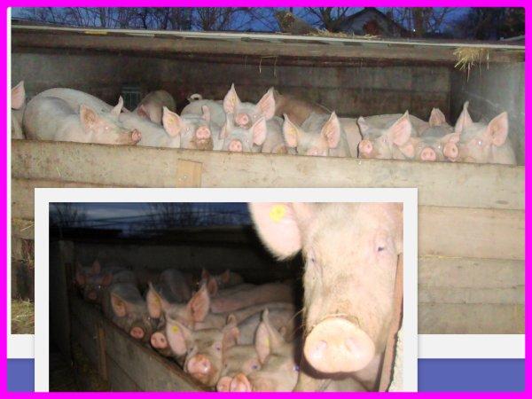 Têtes de cochons