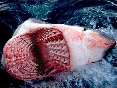 Le Plus Grand Requin Aux Monde Lol Blog De Tokioyonna