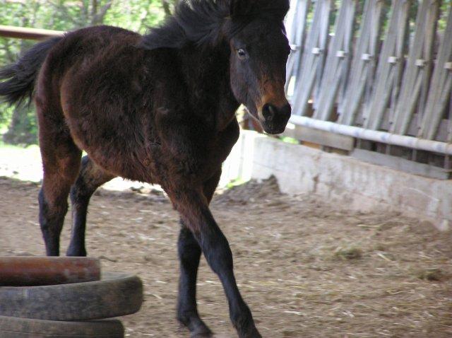 Bébé poney d'amour (l)