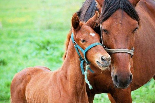 Un cheval peut-il en imiter un autre???