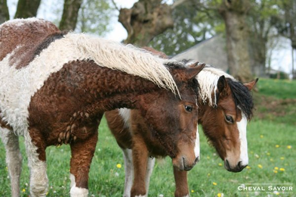 LE CHEVAL AMERICAN BASHKIR CURLY