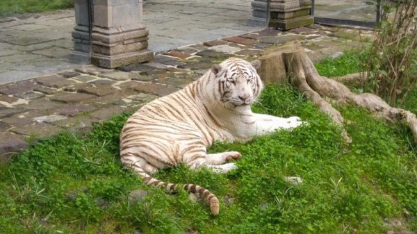 Il et trop beau se tigres ?❤il et vraiment manifique se tigres ? le pars et trop bien ?