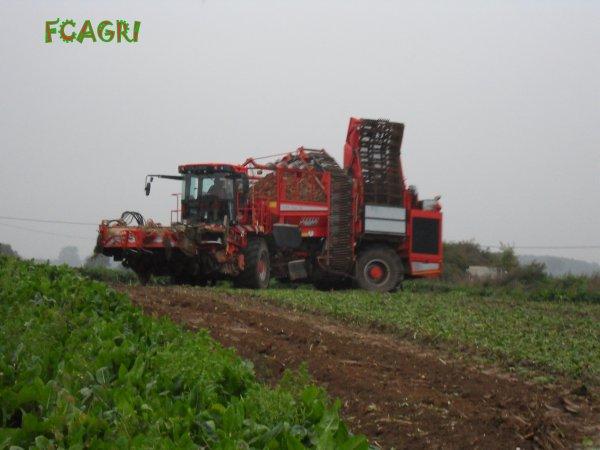 Arrachages 2010 : Chicorées