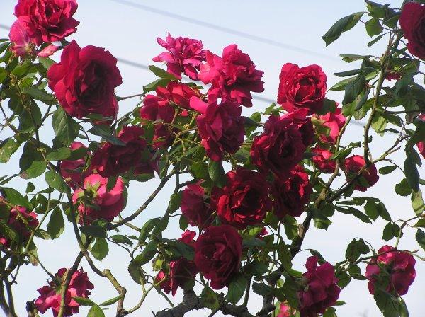 Photos de fleurs, maintenant. =)     *elles proviennent presque toutes de mon jardin. ^o^*