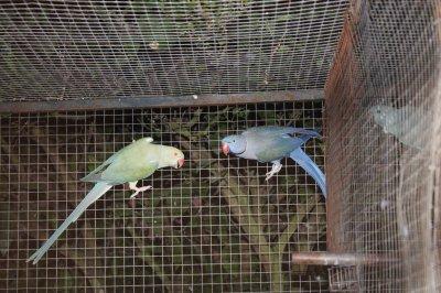 casal  Violeta turquesa portador de CB/CB x azul canela Cauda branca CB
