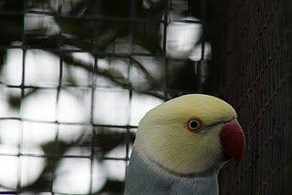 cobalto, cinzento turquesa lacewing, azul turquesa cabeça e cauda branca.
