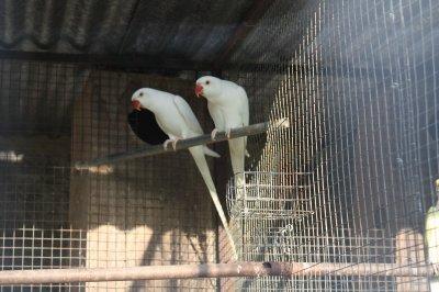 casais reprodutores 1