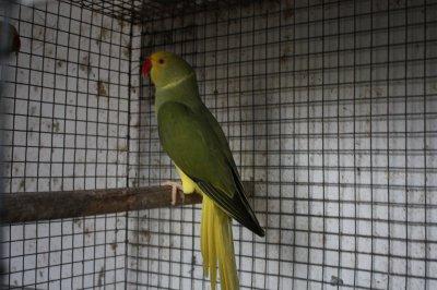 Oliva cabeça e cauda amarela