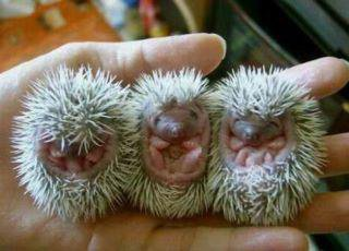 Baby Hérisons
