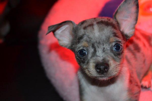 petit mâle merle aux yeux bleus réservé
