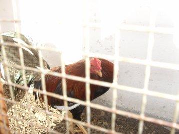 coq rouge et noir