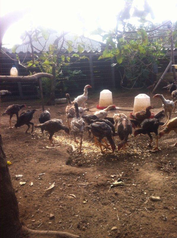 Coq et poule de 4 a 6 mois avendre multiple couleur pur bresilien