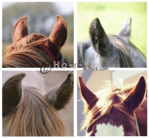 ___________◊ L'ouïe du cheval________________________________Ho-r-se_♥!_____________________