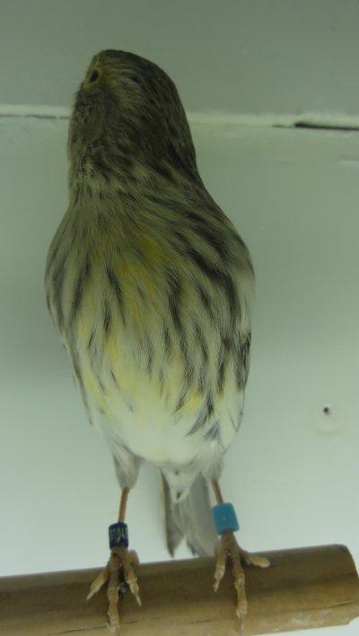 femelle noir jaune mosaïque porteur eumo