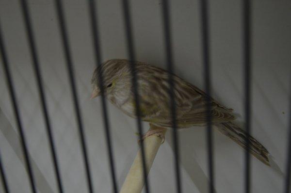 femelle brune eumo mosaique jaune 2014