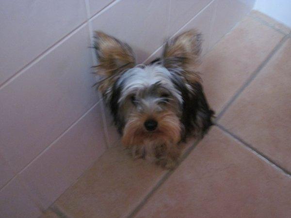 Mon chien ( avant le toilettage )