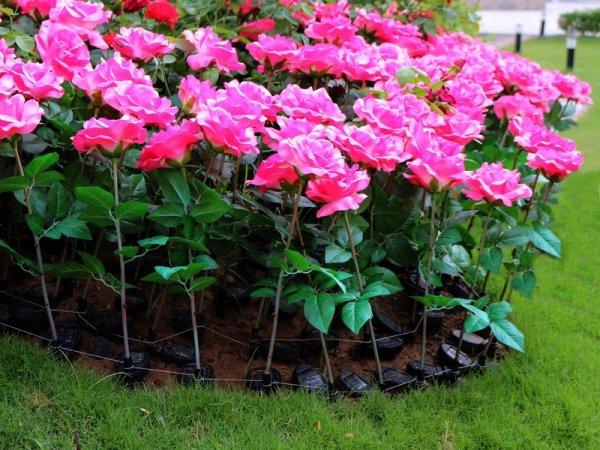 Roses bi'HOniques.