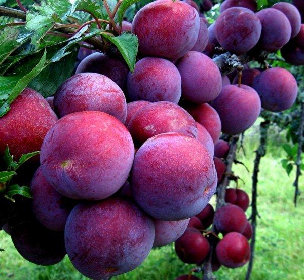 Saison Hồ fruits.