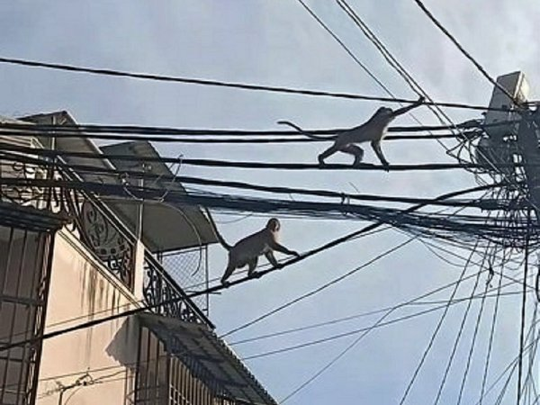 Gare Hồ petits gorilles !..