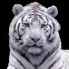 box-tigre