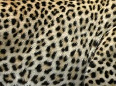 ☞ Nasalines zébrées et léopards   !