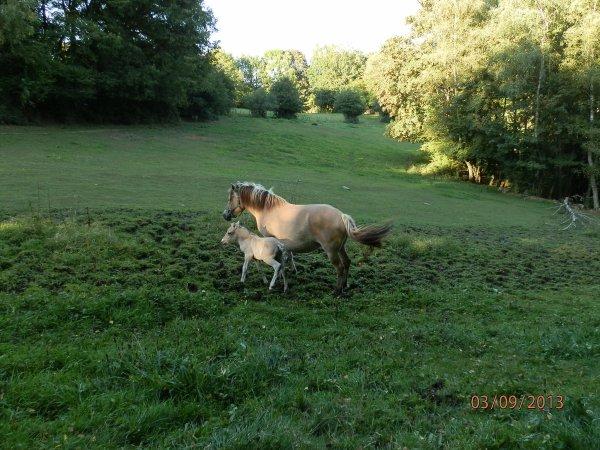 Esi et son poulain, à la saillie au Bois le Miot, avec Gidar van den Bosdries.