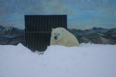 ****** image d'ours polaire poser par moi*******