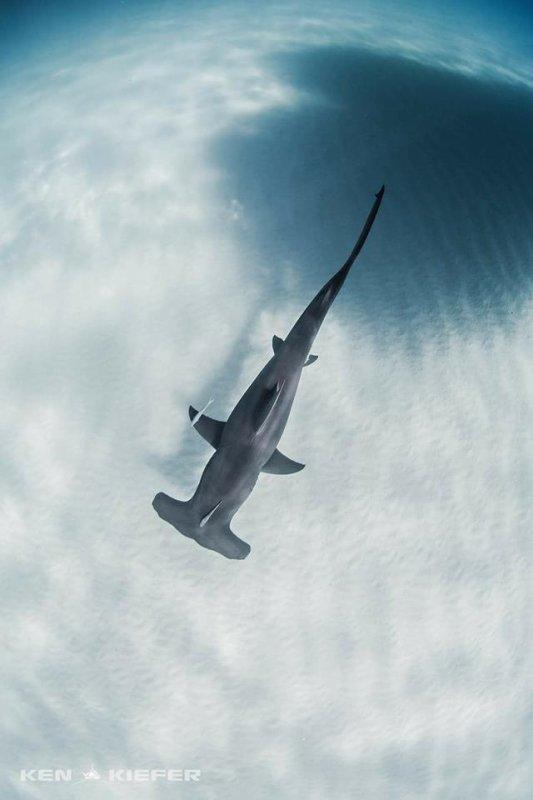 la plus belle merveille du monde ( les requins )